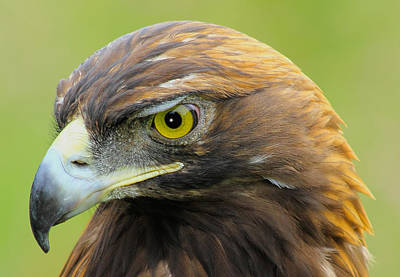 Poster featuring the photograph Golden Eagle by Shane Bechler