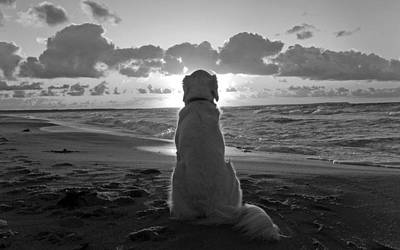 Golden Labrador Watching Sunset Poster