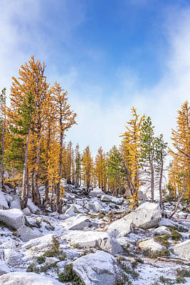 Golden Larches Fall Colors Poster by Mike Reid