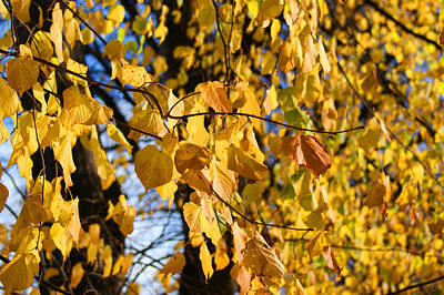 Golden Leaves Poster by Carol Lynch