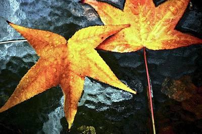 Golden Liquidambar Leaves Poster