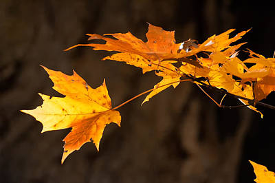 Golden Maple Arch Poster