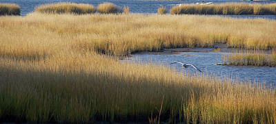 Golden Marsh Grass Against Deep Blue Water With Seagull Poster by Tim Bond