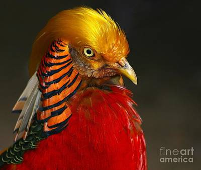 Poster featuring the photograph Golden Ornamental Pheasant by Debbie Stahre