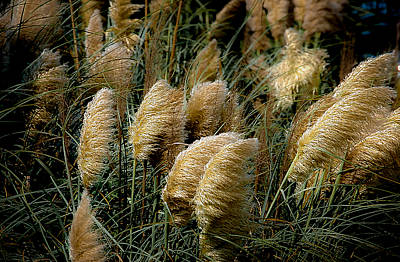 Golden Pampas In The Wind Poster