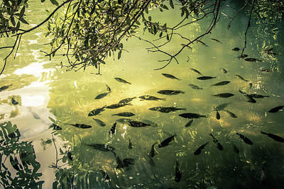Golden Pond With Fish Poster