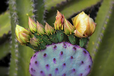 Poster featuring the photograph Golden Prickly Pear Buds  by Saija Lehtonen