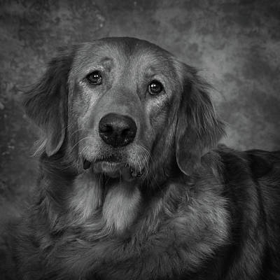 Golden Retriever In Black And White Poster