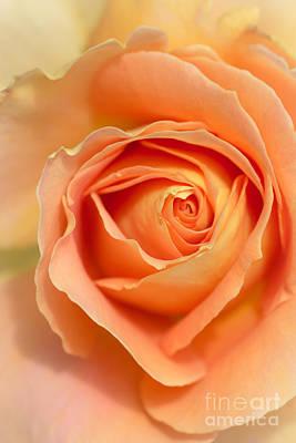 Golden Rose Poster by Ana V Ramirez