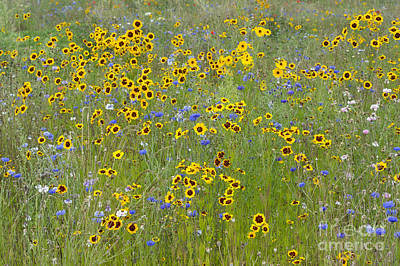 Golden Tickseed Meadow Poster