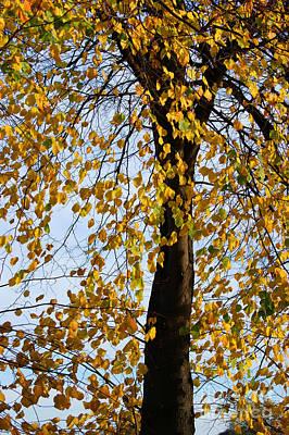 Golden Tree Poster by Carol Lynch
