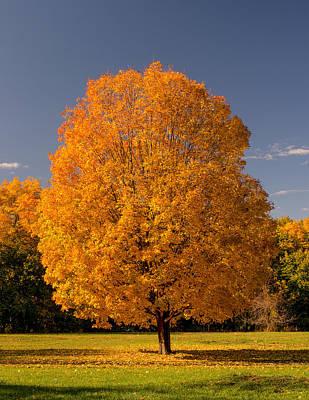 Golden Tree Of Autumn Poster
