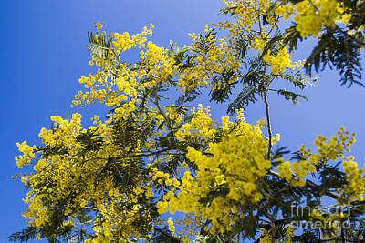 Poster featuring the photograph Golden Wattle by Angela DeFrias