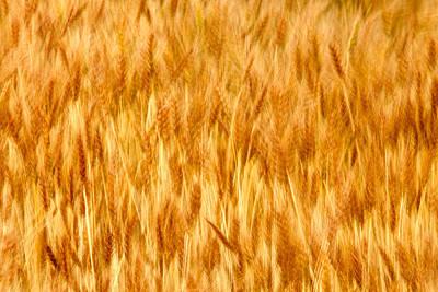 Golden Waves Of Grain Poster