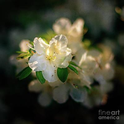 Golden White Azaleas Poster