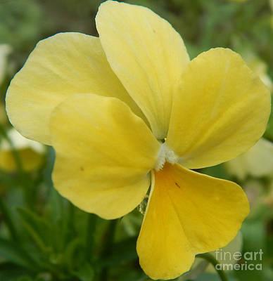 Golden Yellow Flower Poster