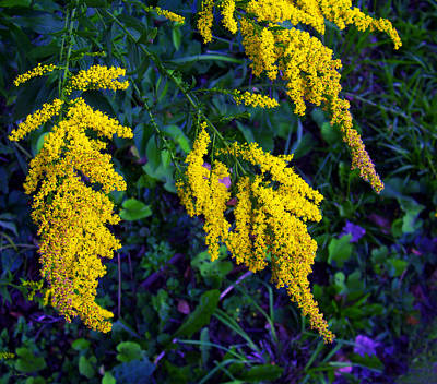 Poster featuring the photograph Goldenrod by Shawna Rowe