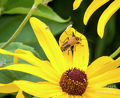 Poster featuring the photograph Goldenrod Soldier Beetle by Ricky L Jones