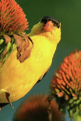 Goldfinch On Coneflower Series #4 Poster