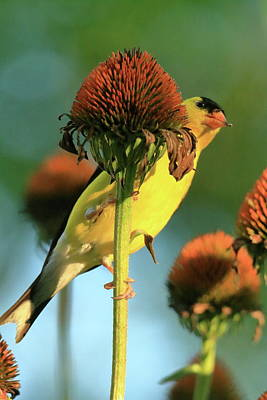 Goldfinch On Coneflowers Series #3 Poster