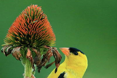 Goldfinch On Dried Coneflower Poster