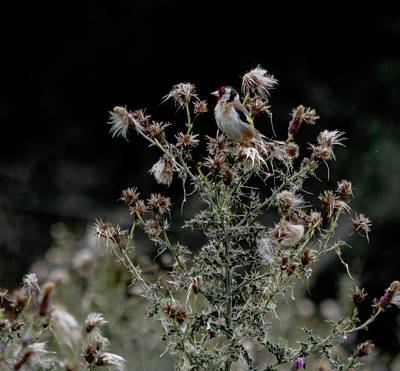 Goldfinch Sitting On A Thistle Poster