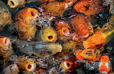 Goldfish Poster by Amanda Elwell