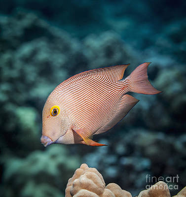 Goldring Surgeonfish  Ctenochaetus Poster
