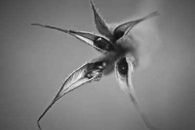 Gone To Seed Columbine Poster
