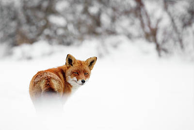 Gonna Walk And Don't Look Back - Red Fox In The Snow Poster by Roeselien Raimond
