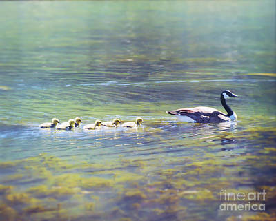 Goose And Goslings Poster by Kerri Farley