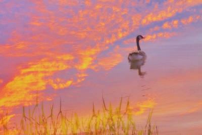 Goose In Sky Reflection Poster