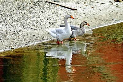 Goose Reflections Poster by Geraldine Scull