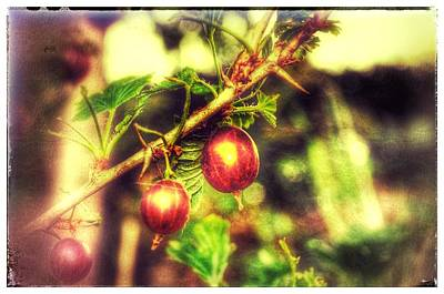 Poster featuring the photograph Gooseberry Fool by Isabella F Abbie Shores FRSA