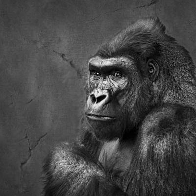 Gorilla Stare - Black And White Poster