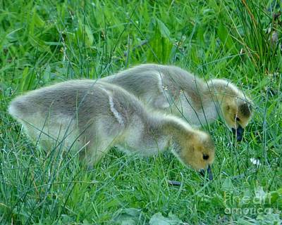 Goslings Poster by As the Dinosaur Flies Photography