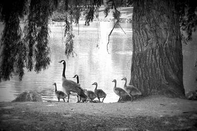 Goslings Bw7 Poster by Clarice Lakota