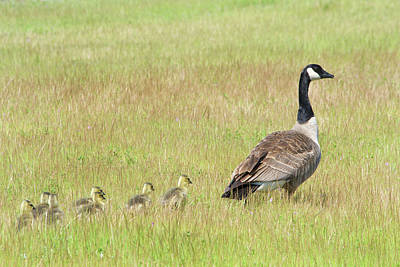 Goslings Following Mama Poster