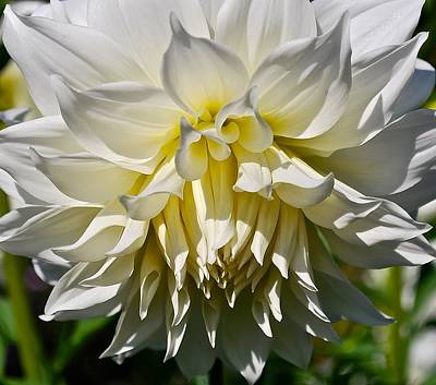 Graceful Dahlia  Poster