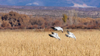 Graceful Landing - Snow Geese Poster by SharaLee Art