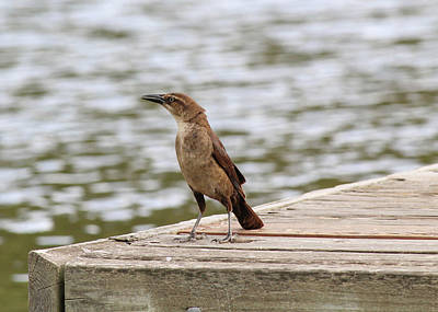 Grackle On A Dock Poster