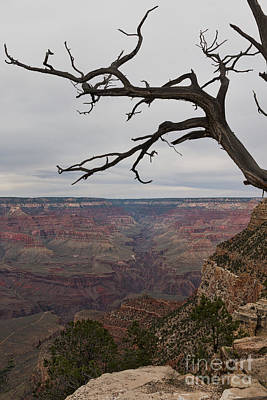 Grand Canyon Branches Poster by Ana V Ramirez