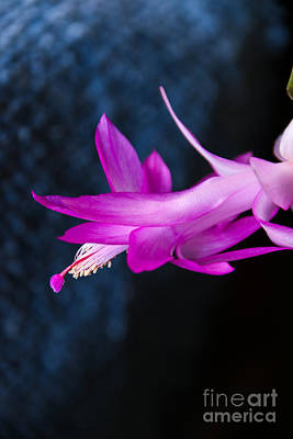 Granny's Christmas Cactus Poster