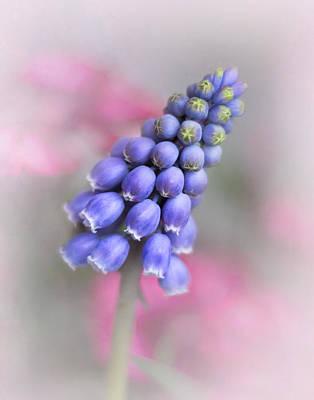Grape Hyacinth II Poster by David and Carol Kelly