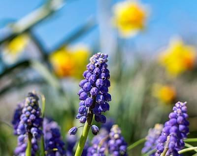 Grape Hyacinth Poster