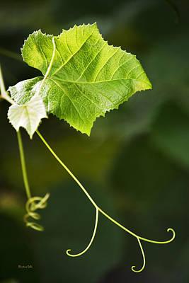 Grape Vine Poster by Christina Rollo