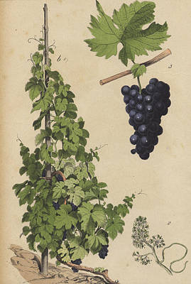 Grapes And Grape Vine Poster