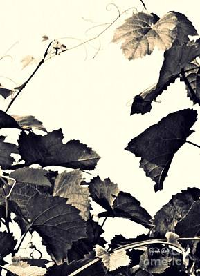 Grapevine In Sepia Poster by Sarah Loft
