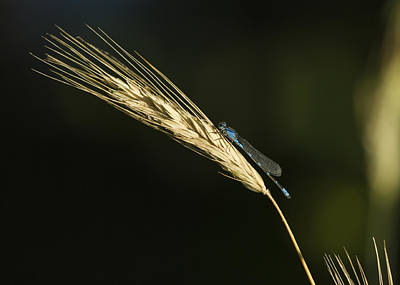 Grass With Blue Damsel Poster by Thomas Young