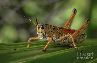 Grasshopper And Palm Frond Poster